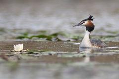 Podiceps cristatus Great Crested Grebe Royalty Free Stock Images