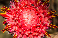 Podkłada ogień imbira, Etlingera elatior kwiatów rodzinny zingiberaceae (Et Obrazy Stock