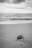 Podkowa krab Fotografia Stock