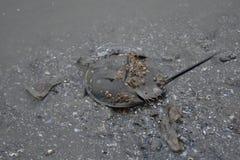 Podkowa krab, błoto na podłoga zdjęcie royalty free