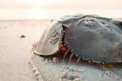 Podkowa krab czołgać się z powrotem ocean Zdjęcie Stock