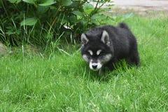 Podkradać się Dwa miesięcy Alusky szczeniaka Starego psa Zdjęcia Royalty Free
