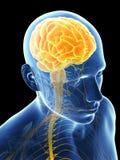 Podkreślający mózg Zdjęcia Royalty Free