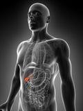 Podkreślający męski gallbladder royalty ilustracja