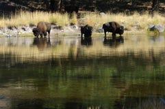 podlewanie buffalo dziurę. Obrazy Stock