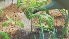 Podlewanie pomidory zbiory wideo