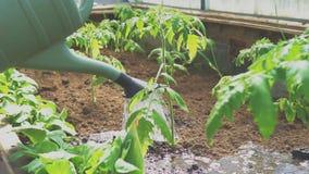 Podlewanie pomidory zbiory