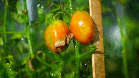 Podlewanie pomidory na lato słonecznym dniu zbiory