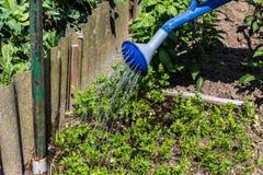 Podlewanie puszka - Jarzynowy ogród Zdjęcie Royalty Free