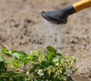 Podlewanie puszka truskawka Zdjęcie Stock