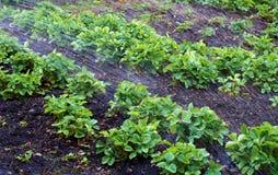Podlewanie truskawki lato Obraz Stock