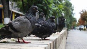 Podli przyglądający gołębie na ulicie Zdjęcia Stock