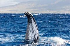 Podlotek humpback wieloryb zdjęcia stock