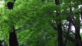 Podmuchowi liście klonowi w jesieni zdjęcie wideo