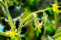 Podmuchowi pomidorów kwiaty Fotografia Stock