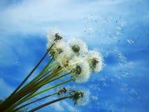 podmuchowy dandelions ziaren wiatr obrazy stock