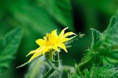 Podmuchowy pomidorowy kwiatu tło Zdjęcie Royalty Free