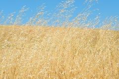 podmuchowych traw dziki wiatr Obrazy Stock