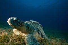 podnawka zielony męski żółw Fotografia Stock