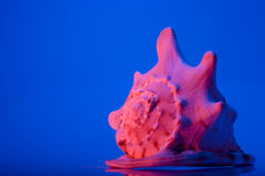 podnieś seashell blisko czerwony Obraz Royalty Free