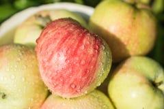 Podnosić żniwo świeży i dojrzały soczysty jabłko obrazy stock