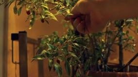 Podnosić up chili od rośliny w przemysłowym środowisku zbiory