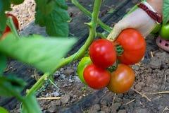 Podnosić dojrzałych pomidory Fotografia Royalty Free