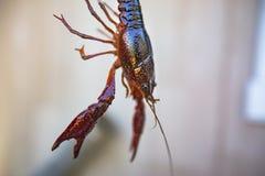 Podnoszący Crawdad od aquaculture centrum obrazy royalty free
