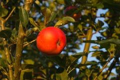 Podnoszący dojrzałych czerwonych jabłka wiesza na drzewie przygotowywającym dla jesieni żniwa Obrazy Stock
