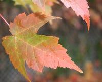 podobieństwo liści jesienią rozmiaru xxxl Obraz Royalty Free