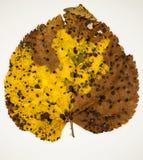 podobieństwo liści jesienią rozmiaru xxxl Zdjęcie Stock