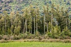 Podocarp δάσος στη Νέα Ζηλανδία Στοκ φωτογραφία με δικαίωμα ελεύθερης χρήσης