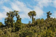 Podocarp δέντρα που αυξάνονται στο τροπικό δάσος Στοκ Φωτογραφίες