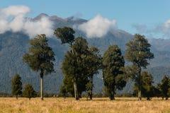 Podocarp δέντρα στη Νέα Ζηλανδία Στοκ φωτογραφία με δικαίωμα ελεύθερης χρήσης