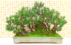 Podocarp δέντρο μπονσάι Yew στο δοχείο αργίλου Στοκ Φωτογραφία