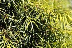 Podocarp Podocarpus salignus φύλλων ιτιών Στοκ Εικόνα
