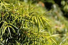 Podocarp Podocarpus salignus φύλλων ιτιών Στοκ φωτογραφία με δικαίωμα ελεύθερης χρήσης