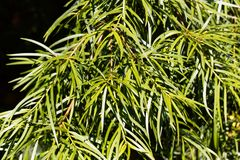 Podocarp Podocarpus salignus φύλλων ιτιών Στοκ φωτογραφίες με δικαίωμα ελεύθερης χρήσης