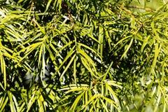 Podocarp Podocarpus salignus φύλλων ιτιών Στοκ Εικόνες