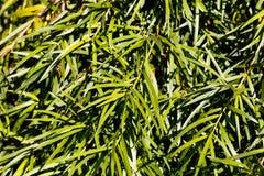Podocarp Podocarpus salignus φύλλων ιτιών Στοκ εικόνα με δικαίωμα ελεύθερης χρήσης