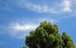 Podocarpus δέντρο ενάντια σε έναν μπλε ουρανό Στοκ εικόνα με δικαίωμα ελεύθερης χρήσης