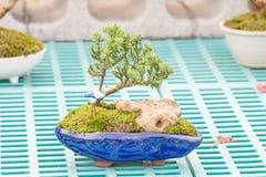 Podocarpus Στοκ Φωτογραφία