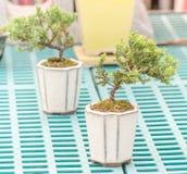 Podocarpus Στοκ φωτογραφία με δικαίωμα ελεύθερης χρήσης