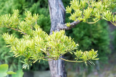 Podocarpus costalis Στοκ εικόνες με δικαίωμα ελεύθερης χρήσης