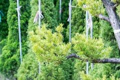 Podocarpus costalis Στοκ Εικόνες