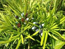 Podocarpus Macrophyllus, βουδιστικό πεύκο, ή ιαπωνικές εγκαταστάσεις Yew με τους κώνους σπόρου που αυξάνονται στο φωτεινό φως του Στοκ φωτογραφίες με δικαίωμα ελεύθερης χρήσης