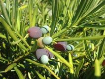 Podocarpus Macrophyllus, βουδιστικό πεύκο, ή ιαπωνικές εγκαταστάσεις Yew με τους κώνους σπόρου που αυξάνονται στο φωτεινό φως του Στοκ Φωτογραφία