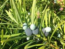 Podocarpus Macrophyllus, βουδιστικό πεύκο, ή ιαπωνικές εγκαταστάσεις Yew με τους κώνους σπόρου που αυξάνονται στο φωτεινό φως του Στοκ εικόνες με δικαίωμα ελεύθερης χρήσης