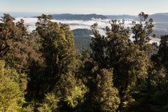 Podocarpus rainforest in Southern Alps Stock Image