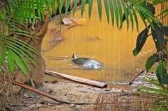 Podocnemis: A tartaruga de Gaint Amazon em seu habitat Imagens de Stock